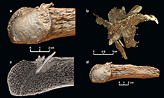 This figure shows a mastodon rib with the embedded bone projectile point. (A) Closeup view. (B) Reconstruction showing the bone point with the broken tip. The thin layer represents the exterior of the rib. (C) CT X-ray showing the long shaft of the point from the exterior to the interior of the rib. (D) The entire rib fragment with the embedded bone projectile point.