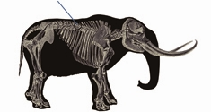 This illustration shows a mastodon hit by a spear with the tip of a projectile point entering the rib of the mastodon.