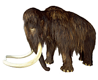 It is still uncertain why the Mammoth became extinct. Photo: Natural History Museum of Denmark