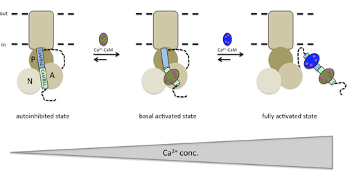 Schematic of the proposed two-step, Ca21-mediated CaMactivation mechanism. With increasing Ca21 concentration, Ca21-CaM first binds to and displaces high-affinity CaMBS1 before even higher Ca21 concentration leads to displacement of CaMBS2 from the catalytic core, allowing free movement of the A domain as required for ion pumping. Actuator (A), nucleotide-binding (N) and phosphorylation (P) domains and the transmembrane region are indicated (Figure: Henning Tidow).