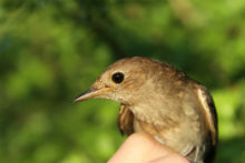 Thrush nightingale. Photo: Mikkel W. Kristensen