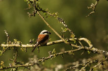 Red-backed shrike. Photo: Mikkel W. Kristensen
