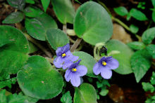 An African Violet. Download free press picture. Photo credit: Steffen Brøgger-Jensen.