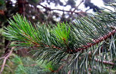 Scandinavian pine tree. Photo: Colourbox