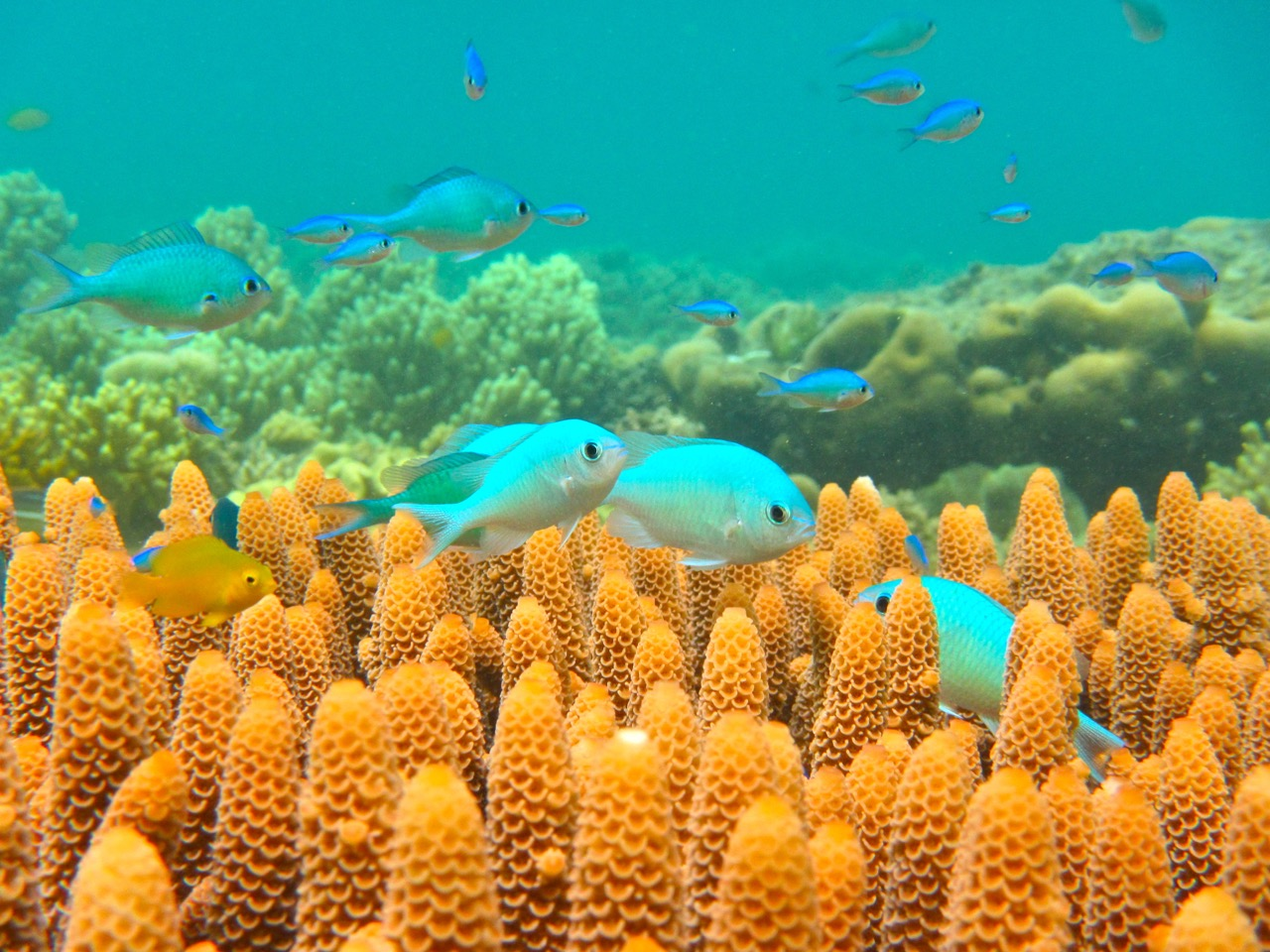 As oceans warm, coral reef fish might prefer to move rather than adapt
